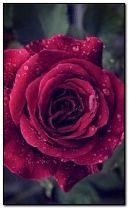 bright rose.