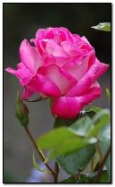 hoa hồng hồng.