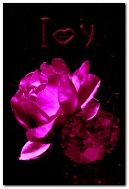 Uma rosa para o amado