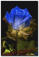 барвиста роза