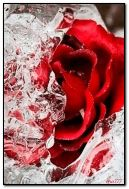 rose in the ice