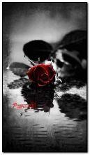गुलाब आणि पाणी तलाव HDO30