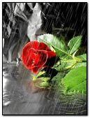 rose at rain.