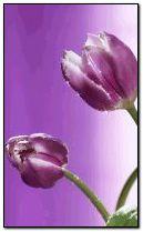 Anim Tulip