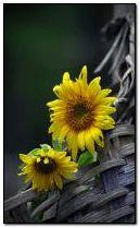 Sunflowers 240x400