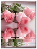 Nice.Pink.Roses