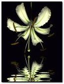 flower white lily