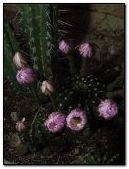 Cactus opening