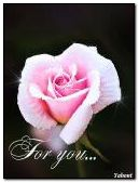 delicate rose for you