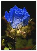 kolor róży