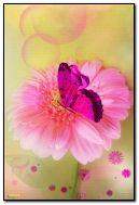 Pink Transvaal daisy
