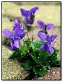 violet-in-snow