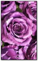 Anim Roses