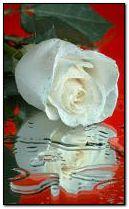 White rose 240x400