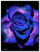 Красива синя роза