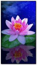 Waterlily - 39