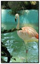 البشروس طائر مائي