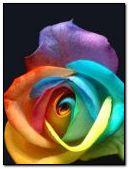 NATURE,FLOWER,Image,ROSE,COOL