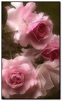 Roses 240x400