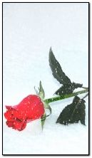 анимированный снег и красная роза 2025