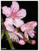 Delicate cherry