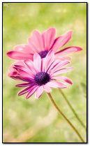 ดอกไม้สีชมพู
