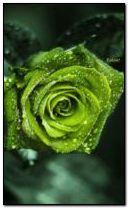 Зелена роза