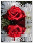 rose red reflex