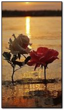 rosas e pôr do sol