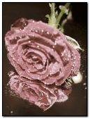 लाल गुलाब 3