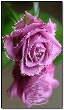 जांभळा गुलाब