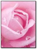 The most delicate rose