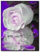 white purple rose