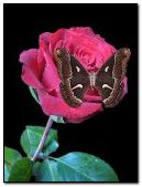 animated Butterfly on pink rose