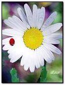 Ladybug on chamomile