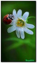 kwiat i biedronka