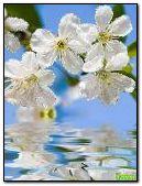 Tenderness of spring