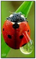 Ladybug 240?400