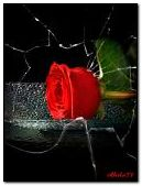 Rose behind the broken glass