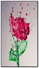 Splash Rose