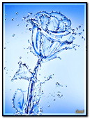 Rose From Water