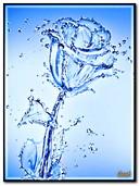 Rose aus Wasser