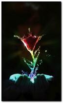 पाणी गुलाब