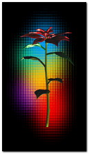 kwiat tęczy