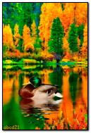 Duck To Swim