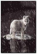 طفل الذئب