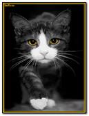 Gato Comun