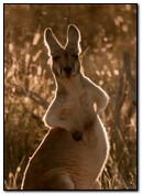 Animated Kangaroo