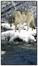 ذئب الشتاء