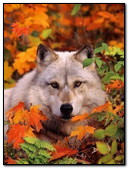 Wolf In Autumn